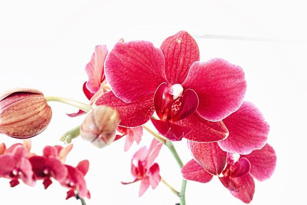 Orchideen: Die Dramaqueen am Fenster